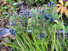 Wild blueberries adjacent to the Boundary Waters Canoe Area Wilderness near Tofte, Minnesota
