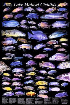 Lake Malawi Cichlids - I've got some of these guys in my aquarium. Cichlid Aquarium, Cichlid Fish, Discus, Malawi Cichlids, African Cichlids, Freshwater Aquarium Fish, Saltwater Aquarium, Aquariums, Fish Chart