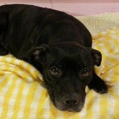 Meet Paula, a Petfinder adoptable American Staffordshire Terrier Dog | New Martinsville, WV | Paula is about a year and a half; appears to have been kept in the house; Walks like a dream..loves...