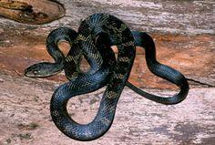 Black Rat, Acorn Decorations, Rat Snake, Reptiles And Amphibians, Rodents, Funny Animals, Abandoned Buildings, Interesting Stuff, Tattoo Ideas