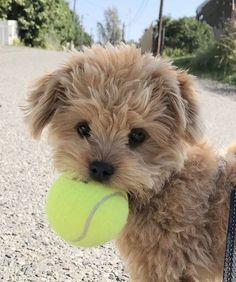 Super Cute Puppies, Baby Animals Super Cute, Cute Baby Dogs, Cute Little Puppies, Cute Dogs And Puppies, Cute Little Animals, Cute Funny Animals, Doggies, Fluffy Puppies