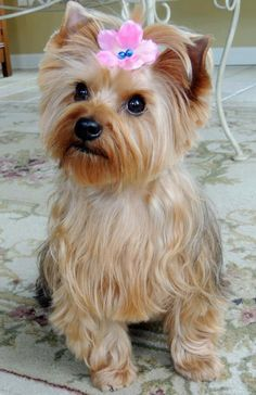 Puppy Love - Bella The Morkie… She's a 2 year old cross breed mix…between a Maltese and Yorkshire terrier…a perfect little package of intelligence, personality and fun…No shedding...she's a Hypoallergenic dog.....so cute!!!