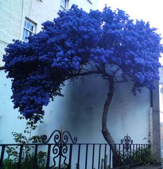 https://flic.kr/p/bXgcLh | A strange lonely blue tree | Walking down Leithwalk I met this strange tree, had no leaves, only blue flowers. Photo taken by my mobile camera, time about 9 o'clock in the evening. I will try to take another photo in the daylight.