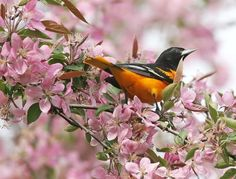 Oriole perching on cherry blossoms