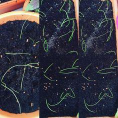 #huertourbanopiluki #cebollas #onions #huertourbano #huertoencasa #hortaurbana #hortaemcasa #huertocasero #urbangarden #urbangardening #gardenlife #gardenlove