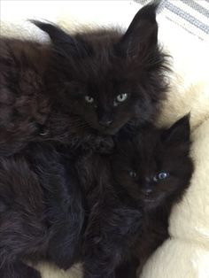 CaringLions Maine Coons. Gorgeous! I love my beautiful Maine Coons.