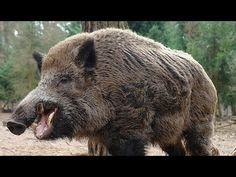 Hunting for wild boar. good shots. selection of video hunting moments - YouTube