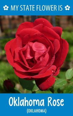 #Oklahoma's state flower is the Oklahoma Rose. What's your state flower? http://pinterest.com/hometalk/hometalk-state-flowers/