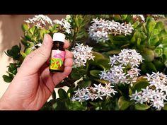 ОДНА КАПЛЯ! ДЕНЕЖНОЕ ДЕРЕВО БУДЕТ ЦВЕСТИ КРУГЛЫЙ ГОД! - YouTube Gardening, Flowers, Youtube, Lawn And Garden, Royal Icing Flowers, Flower, Youtubers, Florals, Youtube Movies