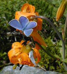 pictures of butterflies   Back to the Home Page ][ Back to Granite Mountain ]--[ previous ...