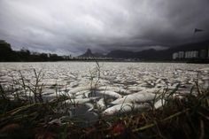Dead fish in Rodrigo de Freitas lagoon, Brazil, 65 tons of fish removed from the lagoon.  Oxygen levels dropped due to pollution