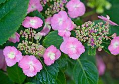 New Hydrangeas for the Midwest | Midwest Living Bloomin' tough Hardy Tuff Stuff reblooming mountain hydrangea flowers on new and old stems for steady blooms all season long. The pink lacecap flowers may look blue in acidic soils and will darken through the growing season.