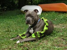 """Gosh.  I am so sexy in this snake.  Knight """"Sabre"""" the #Thunderfoot. Blue Nose.  Blue Brindle. Pitbull. 9 Months Old."""