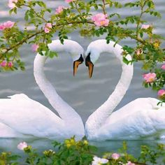 Spring Swans~a beautiful heart I hope to find my swan one day. Swan Love, Beautiful Swan, Beautiful Birds, Animals Beautiful, Pretty Animals, Beautiful Images, Exotic Birds, Colorful Birds, Tropical Birds