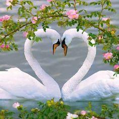 Swan hearts