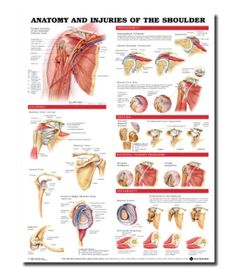 shoulder anatomy and injuries