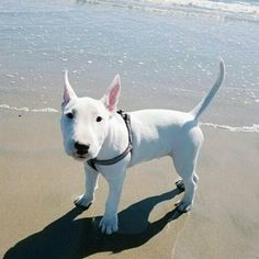 I want a bull terrier - Tap the link to see the newly released collections for amazing beach bikinis