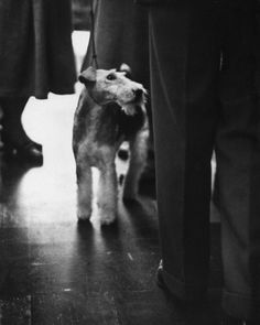 Travella Superman of Harham, Wire fox Terrier 1955 | LIFE With Dogs: Westminster Champs and Also-Rans, 1950s and 1960s | LIFE.com