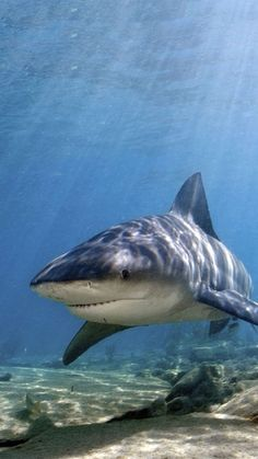 Phroyd's World - What makes bull sharks particularly dangerous to humans is the likelihood of crossing paths with on - Shark Pictures, Shark Photos, Underwater Creatures, Ocean Creatures, Reptiles, Mammals, Save The Sharks, Great White Shark, Shark Week