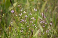 Wild flowers in Loxahatchee.  See more at : https://flic.kr/s/aHsjXShcYd