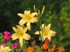 Summer Daylilies