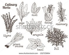 Culinary herbs on a white background, hand drawn set by Fandorina Liza, via Shutterstock