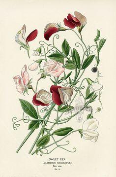 pretty primrose