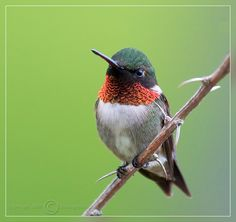 Regular visitor to my yard.  Humming | Ruby-throated Hummingbird | Click photo for larger view