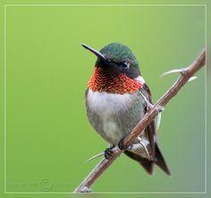Chubby Hummingbird.