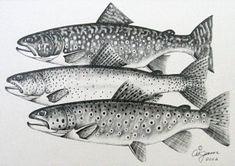 fish pencil drawings - Google Search