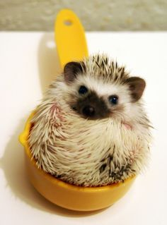 Funny pictures about And then add one cup of hedgehog. Oh, and cool pics about And then add one cup of hedgehog. Also, And then add one cup of hedgehog. Big Animals, Cute Baby Animals, Funny Animals, Penguin Animals, Cute Creatures, Beautiful Creatures, Animals Beautiful, Hamsters, Cute Hedgehog