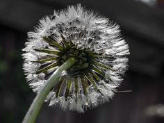 'Sparkling drops - Dandelion at the rain' von Chris Berger bei artflakes.com als Poster oder Kunstdruck $7.73