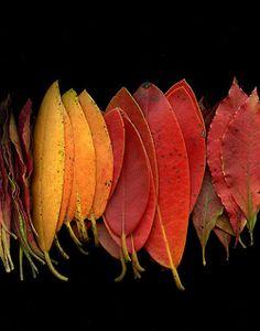 araknesharem:  55531.02 Rhododendron by horticultural art on Flickr.