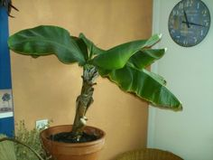 Banana Plant Houseplant: Taking Care Of A Banana Tree Inside - Banana plant indoors? That's right. With enough light and water, a tropical banana tree makes an excellent houseplant. And this article will help get you started with growing bananas.