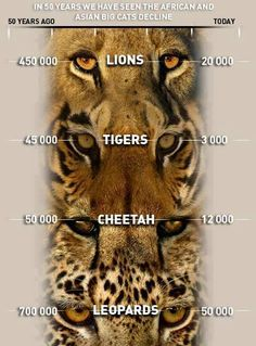 Big cats extintion