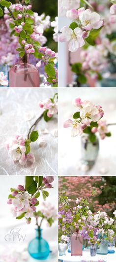 Paris Gardens and David Austin Roses from Garden Photo World: Apple Blossom (Malus)