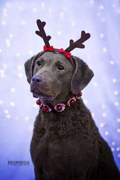 Christmas Chessie by KerrieT, via Flickr What a beautiful animal!