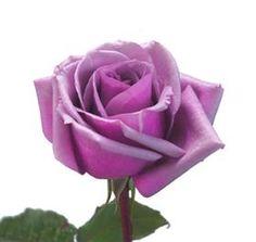 Garden Rose Purple Fragrance