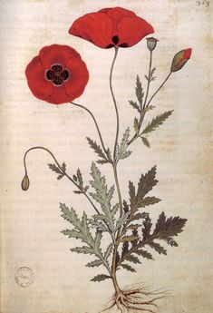 Poppies from the Codice Rinio manuscript after Benedetto Rinio, its second owner, or the Codice Roccobonella, after the Padua-based physician Nicolò Roccabonella, who commissioned it ca. 1445. Its illustrations, about twenty of which are thought to have been copied from the Carrara Herbal were the work of a painter named Andrea Amadio.