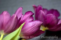 Triple Tulips- Photograph by Shannon Wagner