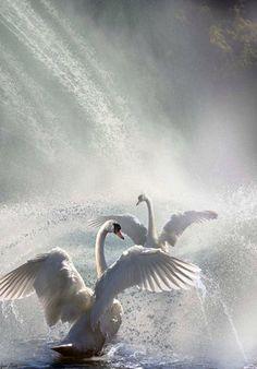 "coiour-my-world: ""Water Dance"" by Igor Zenin Swan Love, Beautiful Swan, Beautiful Birds, Animals Beautiful, Animals Of The World, Animals And Pets, Cute Animals, Swans, Polo Sul"
