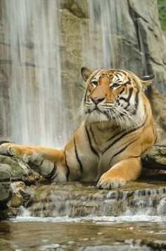 "A Tiger:  ""Resting At The Waterfall."""