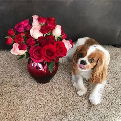 Hugs, Puppy Kisses & Valentines wishes 💋🌹💕 #happyvalentinesday #feelingthelove #tot #cavlife