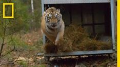 Releasing Four Siberian Tigers Into The Wild | CutesyPooh
