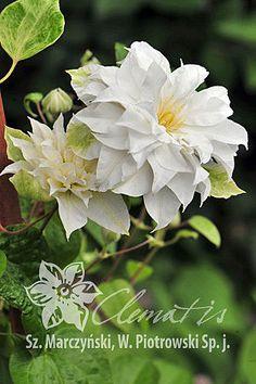 Clematis 'Maria Skłodowska Curie'PBR White Clematis, Pink Bar, Expo 2015, Love Garden, New Growth, Blue Flowers, Perennials, Pergola, Gardens