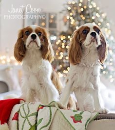 My Cavalier King Charles Spaniels...How To Photograph Dogs #dog #christmas #cavalierkingcharles