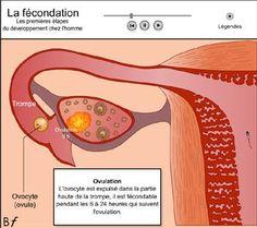LA FECUNDACIÓN Education, Images, Human Body, Pregnancy, Preschool, Fetus Development, Deceit, Beginning Sounds, Exercises