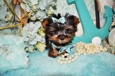 Some of the Tiniest, Most Beautiful Teacup Yorkie Puppies in the World! Teacup Yorkie and Small Toy Yorkies for Sale. See the Best! Teacup Yorkie For Sale, Cute Teacup Puppies, Yorkies For Sale, Yorkie Puppy For Sale, Super Cute Puppies, Chihuahua Puppies, Cute Dogs, Baby Yorkie, Yorky