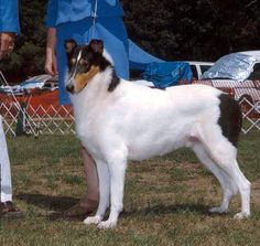 Tricolor white smooth collie