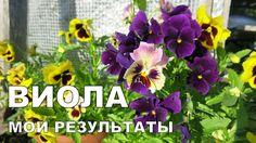 Выращивание ВИОЛЫ. 2. Цветение // Growing viola. 2. Bloom period